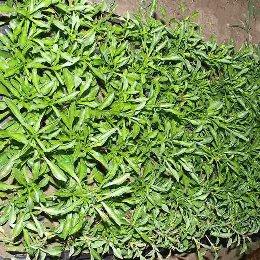 五色草种苗种植