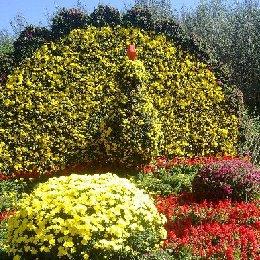 菊花造型之菊花的生长特点